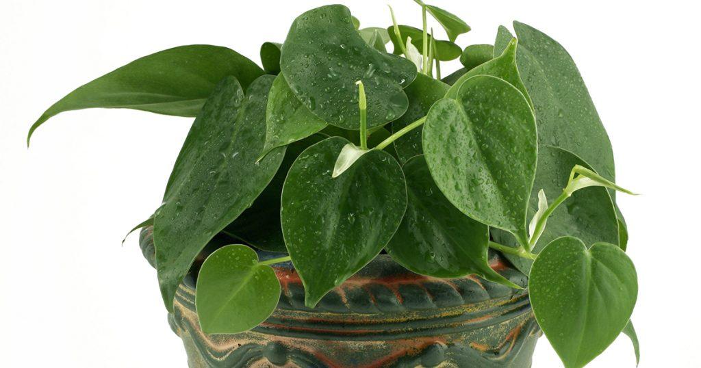 ASPCA - Toxic and Nontoxic Plants - Heart Lea Philodendron Plant