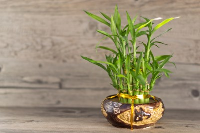 Active Beat - Houseplants that Clean Air Quality - Bamboo Palm Plant