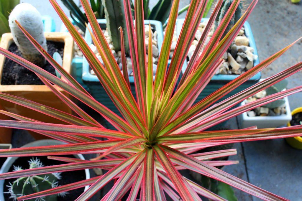 Crumbs Blog - Red Edged Dracaena Plant