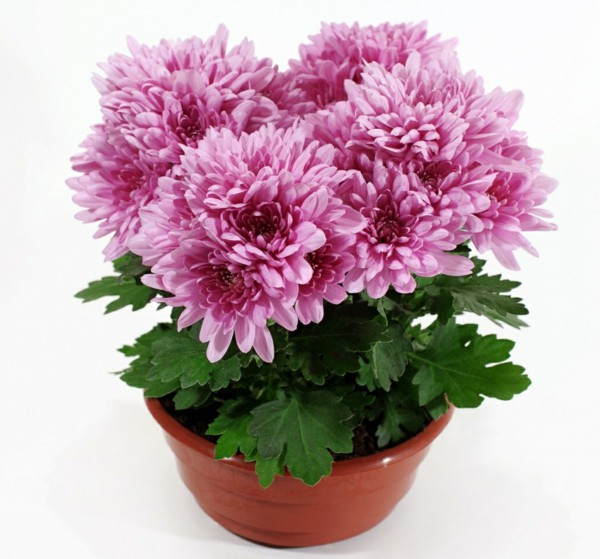 Fresh Design Pedia - Chrysanthemum Plant