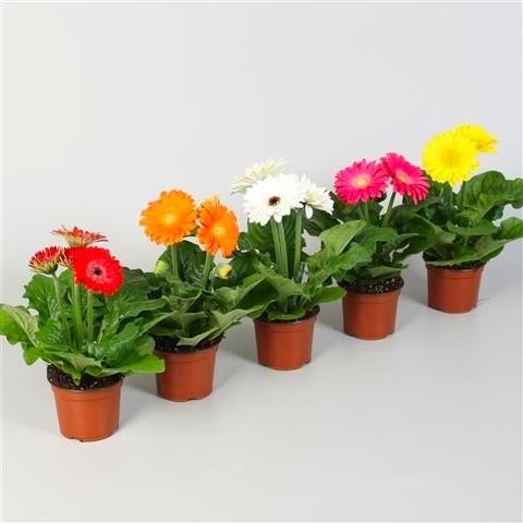 Gardening Express - Gerber Daisy Plant