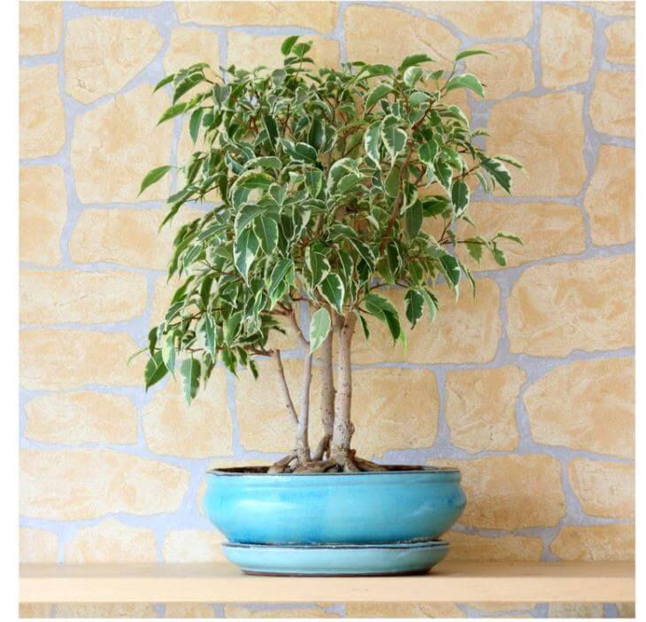 House Plants Expert - Weeing Fig Tree Plant