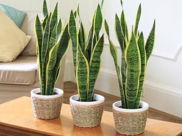 Inside Plants - Snake Plants