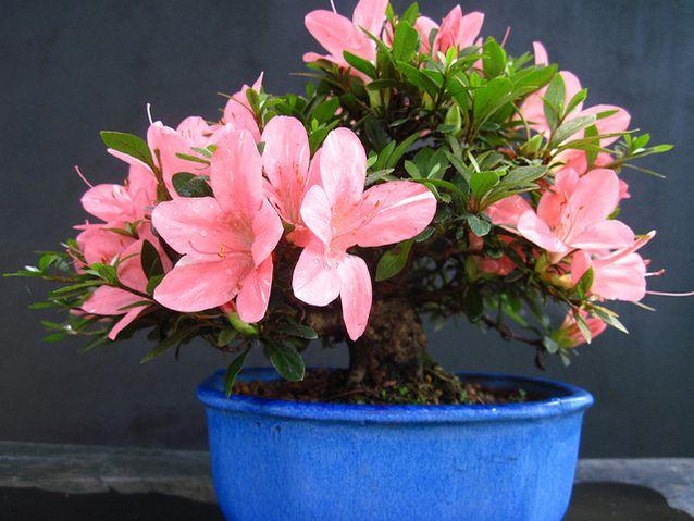 Mother Nature Network - Indoor Houseplants - Azalea Plant