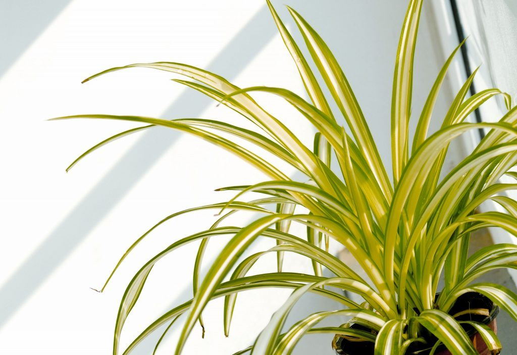 Title Magazine - Bringing the Outdoors In - Spider Plant
